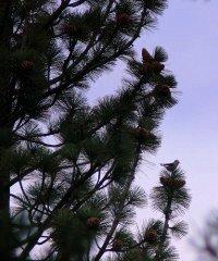 Tahoe pine